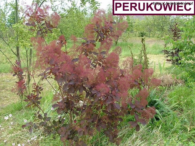 Perukowiec podolski Royal Purple