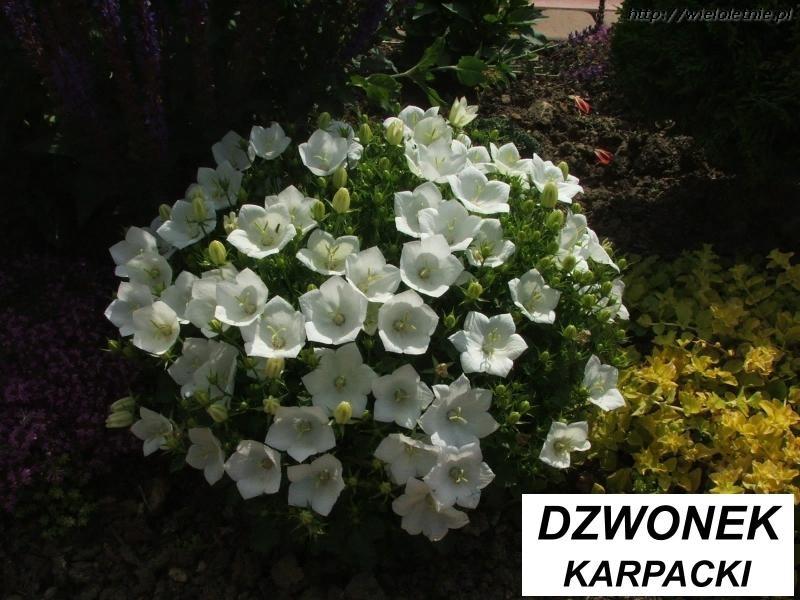 Kwiaty Wieloletnie Krzewy Ozdobne Byliny Wieloletnie Byliny