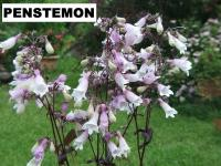 Penstemon palczasty